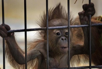 A young Orangutan hold on to the bars of a cage at the Duisburg Zoo, western Germany, on Wednesday April 14,2010. The three month old Orangutan is the daughter of one of the oldest Orangutans worldwide, Siam, 50 years old, held at the animal park.(AP Photo/Frank Augstein)
